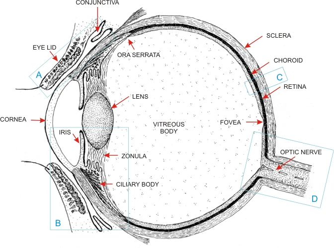 eye sagittal section diagram