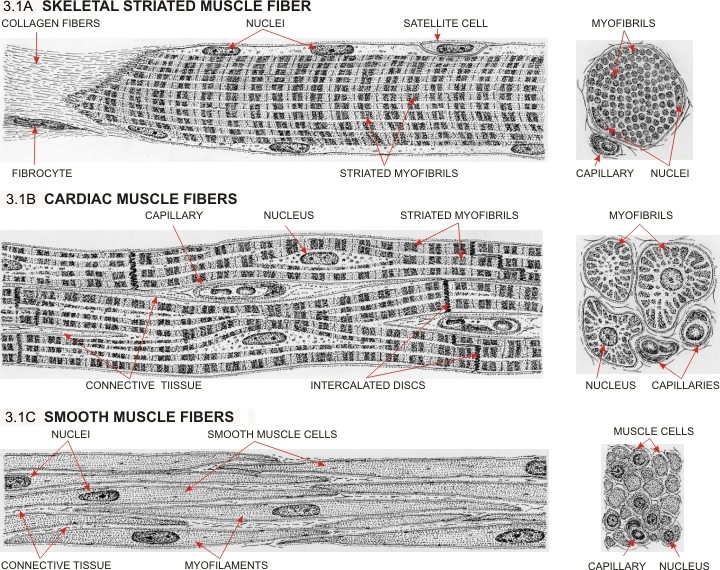 Muscle Tissue Page 1